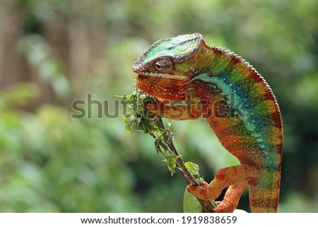 Beautiful color of chameleon panther, chameleon panther on branch, closeup face chameleon panther