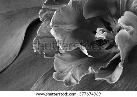 Artistic black and white photo of a beautiful parrot tulip with ruffled edges against background of tulip leaves. Macro with selective focus.