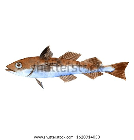 watercolor drawing pollock, fish, isolated at white background hand drawn illustration