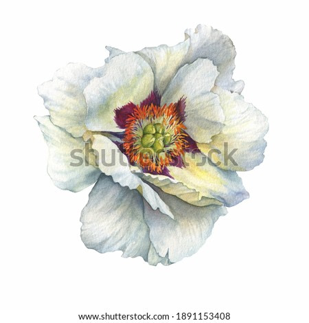 Branch of flower semi-double white peony (Paeonia suffruticosa, plant known as Paeonia rockii). Watercolor hand drawn painting illustration, isolated on white background.
