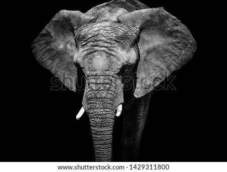 Monochrome portrait elephant. Detail face african elephant. Black and white animal. Photo from animal live.