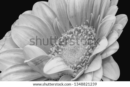 Floral fine art still life detailed monochrome high key macro of a single isolated wide opened gerbera blossom with detailed texture on black background in vintage painting style