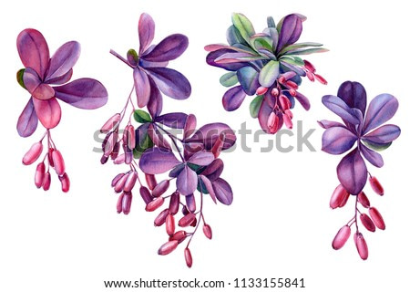 purple leaves and branches of barberry, watercolor illustration, botanical painting, set of plants on isolated background