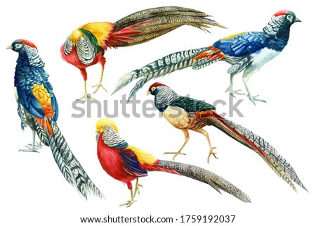 set of colorful birds, pheasants on an isolated white background, botanical watercolor, hand drawing