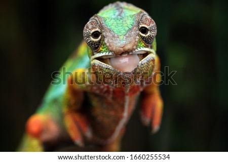 Beautiful of chameleon panther, chameleon panther on branch, Chameleon panther closeup face