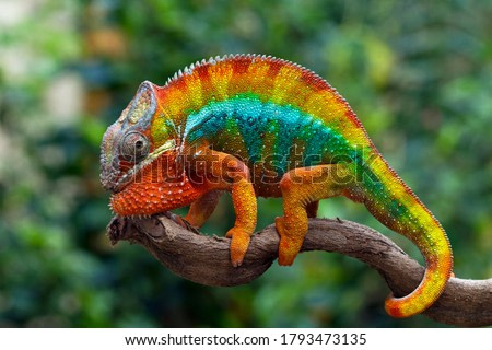 Beautiful of chameleon panther, chameleon panther on branch, chameleon panther closeup