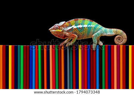 Chameleon panther tries to camouflage on colored pencils, Beautiful of chameleon panther, chameleon panther on colored pencils