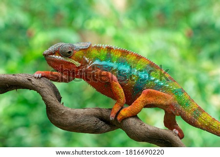 Beautiful color of chameleon panther, chameleon panther on branch, chameleons panther walking on branches