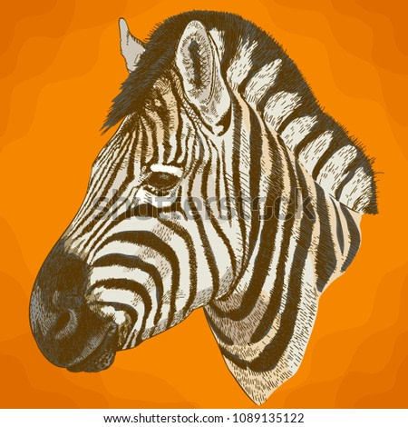 Vector antique engraving illustration of african zebra head in retro style