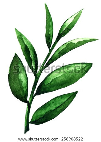 Watercolor tea green leaves closeup isolated on white background. Hand painting on paper