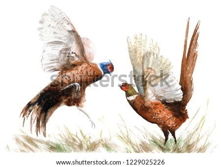 watercolor drawing of a bird. two pheasants in the grass