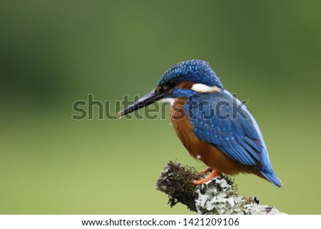 Male kingfisher fishing from branch