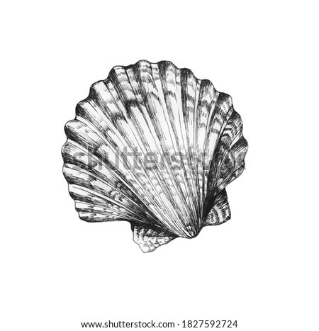Vintage black and white realistic drawing of Scallop seashell