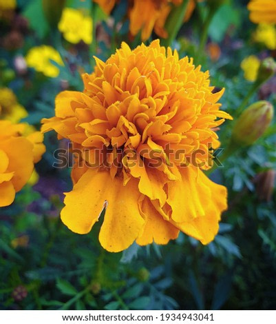 Yellow flower with green leaves wildly growing with yellow flowers in the background