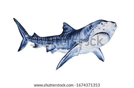 Great wild shark, hand-drawn animal on a white background. Watercolor illustration. Design of children's clothing, pajamas, cards, covers, wrapping paper, excellent quality for decor and design, tatto