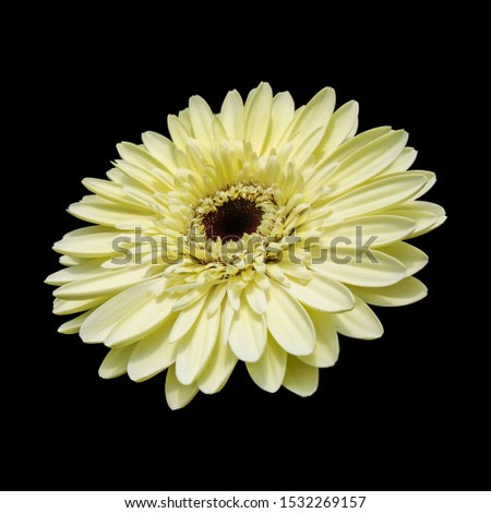 soft yellow Garbera in black background to easy selection