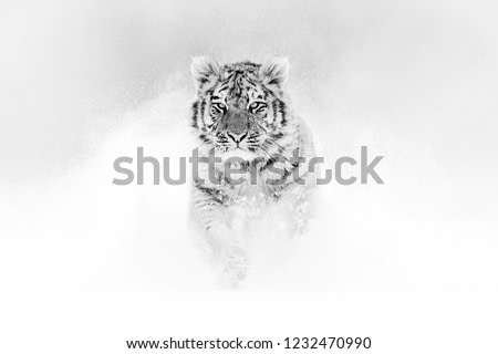 Black and white art. Tiger in wild winter nature, running in the snow. Siberian tiger, Panthera tigris altaica. Action wildlife scene with dangerous animal. Cold winter in taiga, Russia.