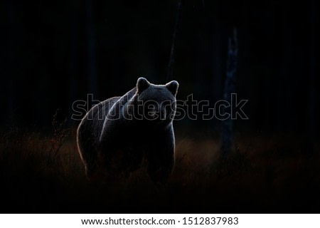 Art view on nature. Dark forest, brown bear hidden in habitat. Autumn trees with bear. Beautiful brown bear walking around lake, fall colours. Wildlife scene from nature.