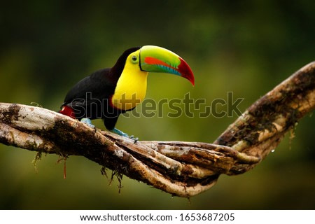 Tropic bird from Guatemala. Keel-billed Toucan, Ramphastos sulfuratus, bird with big bill sitting on branch in the forest. Nature travel in central America. Beautiful bird in nature habita
