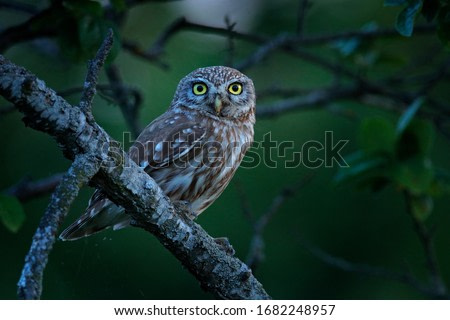 Little Owl in nature habitat. Yellow big eye. Owl in the forest.