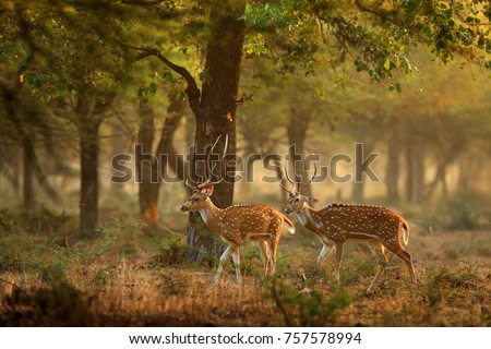 Chital or cheetal, Axis axis, spotted deers or axis deer in nature habitat. Bellow majestic powerful adult animals.