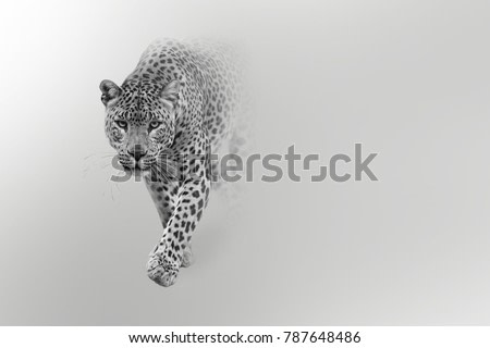 leopard wildlife art collection effect of darkness white edition