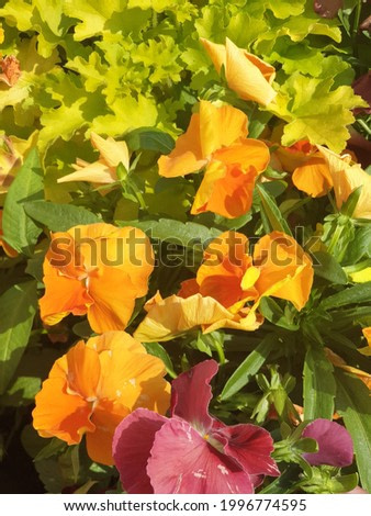 Pansies start to wilt as the day gets hotter