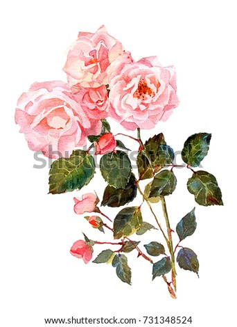 A bouquet of light pink garden roses, isolated on white background.Watercolor painting. Botanical illustration.