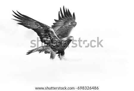 Artistic, black and white photo of Golden Eagle, Aquila chrysaetos, big bird of prey on snowy meadow with outstretched wings. Animal fine art processing. Eagle isolated on white.