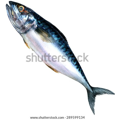 Fresh mackerel fish isolated, watercolor painting on white background