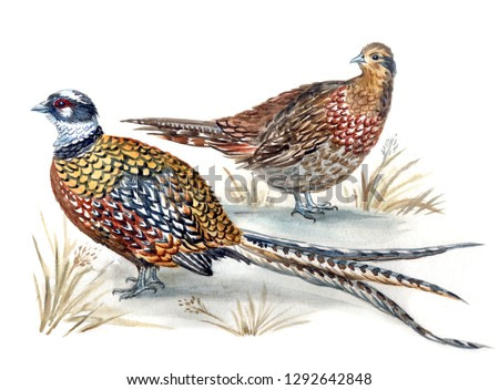A pair of Royal Pheasants (Syrmaticus reevesi), male and female, watercolor painting.