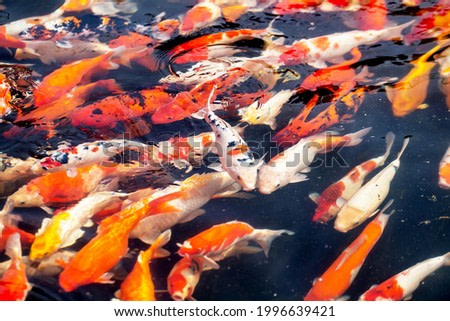 Colorful fancy carp fish, koi fish In the pond