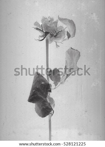 Beautiful roses branch. Daguerreotype style. Film grain. Botanical scan. Vintage. Black and white. Negative film x-rays scan. Canvas texture background, conceptual old retro aged postcard. Bohemian