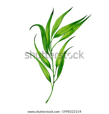 Sprig of tarragon, watercolor illustration  on white background