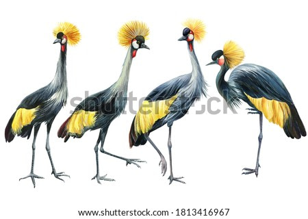 Crowned cranes, bird flock cranes on white background, watercolor illustration