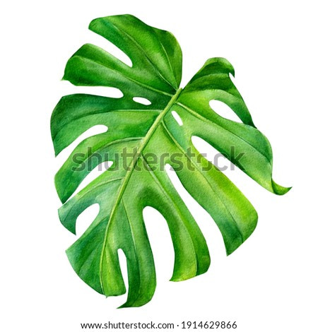 Tropical leaves watercolor, beautiful palm leaf hand drawing, monstera liana