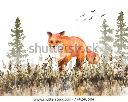 Watercolor painting.  Hand drawn  animalistic illustration. Red fox walking on fading meadow.  Autumn scene with wild predator motion, fir-trees in mist and dried grass.
