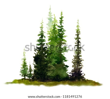 Picture of a group of spruces hand painted in watercolor on a white background