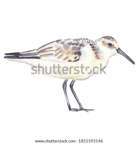 Watercolor sanderling bird drawing isolated on white background Watercolor clip art Cute realistic exotic bird