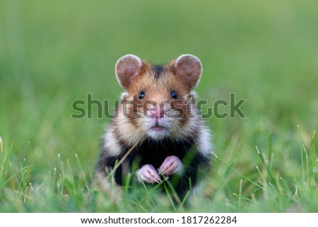 European Common Hamster (Cricetus Cricetus) on the Vienna Central Cemetery