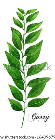 Watercolor Curry Leaf Illustration | Kitchen Herbs Painting | Culinary Herbs Drawing