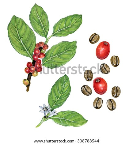 realistic illustration of coffee tree  (coffea) with a branch with fruits. leaves ahd flowers and beans
