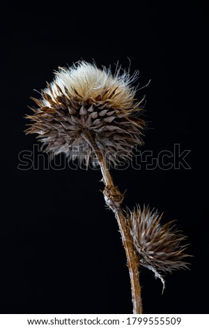 Dry wild thorny plant on a black background. Close-up. A fragment of a dried plant. Dry stem, leaves and seeds of the plant. Dried herbs. Contrast graphics. Abstract composition on black background