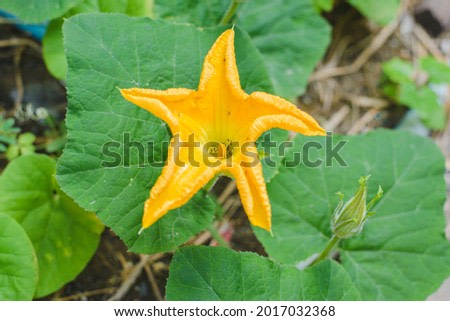 Pumpkin flower high angle with black ants inside the flower, agriculture.
