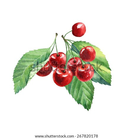 vector watercolor fruit cherry on white background