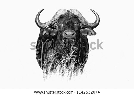 African Buffalo, Cyncerus cafer, standing in the grass, Moremi, Okavango delta, Botswana, Africa. Black and white fine art African animal in the habitat. Face portrait.