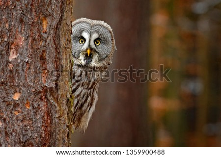 Portrait of Great grey owl, Strix nebulosa, hidden behind tree trunk in the winter forest, with yellow eyes. Wildlife scene from wild nature. Funny image with owl. Wildlife in Finaland.