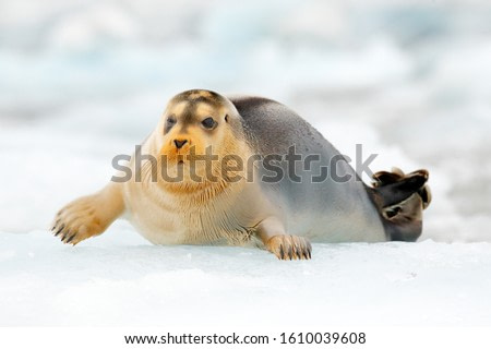 Seal in the Arctic snowy habitat. Bearded seal on blue and white ice in arctic Svalbard, with lift up fin. Arctic marine wildlife. Wildlife scene in the nature. Icebreaker with cute seal.