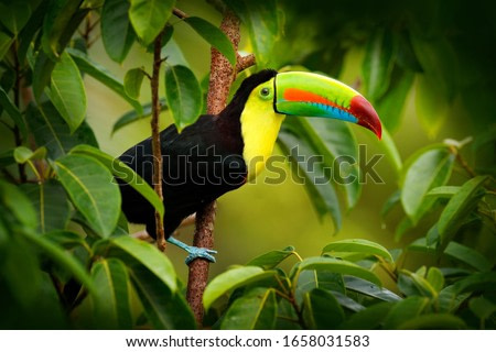 Costa Rica wildlife. Toucan sitting on the branch in the forest, green vegetation. Nature travel holiday in central America. Keel-billed Toucan, Ramphastos sulfuratus. Wildlife from Costa Rica.