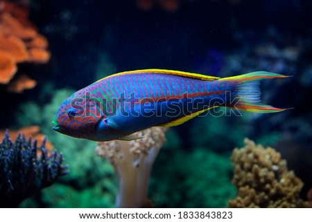 Klunzinger's wrasse, Thalassoma rueppellii, also known as Rüppell's wrasse,species of ray-finned fish. Blue fish in the ocean water. Beautiful sea animal.